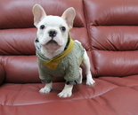 ID:FB635 French Bulldogのイメージ