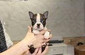 ID:BT162 Boston Terrier