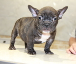 ID:FB663 French Bulldogのイメージ