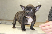 ID:FB663 French Bulldog