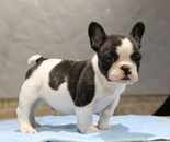ID:FB656 French Bulldogのイメージ