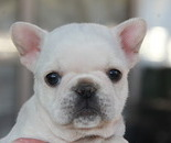 ID:FB532 French Bulldog のイメージ