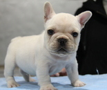 ID:FB676 French Bulldogのイメージ