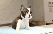 ID:BT164 Boston Terrier