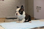 ID:BT158 Boston Terrier