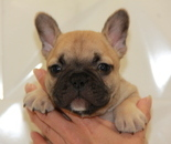 ID:FB673 French Bulldogのイメージ