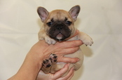 ID:FB673 French Bulldog