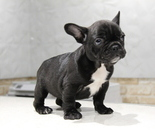 ID:FB664 French Bulldogのイメージ