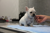 ID:FB679 French Bulldog