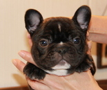 ID:FB665 French Bulldogのイメージ