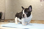 ID:FB669 French Bulldog