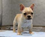ID:FB671 French Bulldogのイメージ