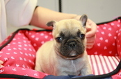 ID:FB672 French Bulldog