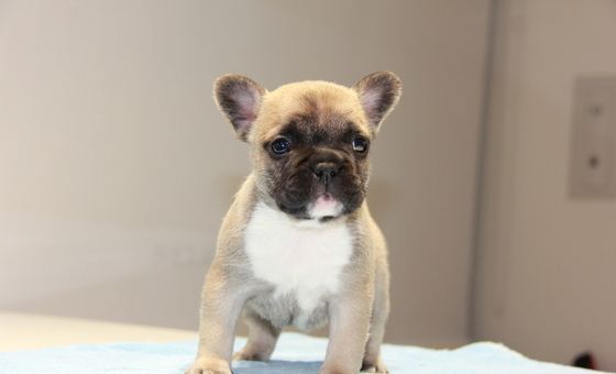 ID:FB675 French Bulldog