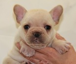 ID:FB536 French Bulldog のイメージ