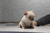 ID:FB536 French Bulldog