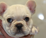 ID:FB540 French Bulldog のイメージ