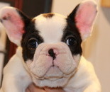 ID:FB541 French Bulldog のイメージ