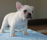 ID:FB543 French Bulldog のイメージ