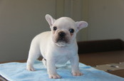 ID:FB543 French Bulldog