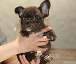 ID:FB549 French Bulldog のイメージ
