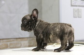 ID:FB549 French Bulldog