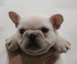 ID:FB551 French Bulldog のイメージ