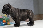 ID:FB556 French Bulldog