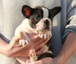 ID:FB562 French Bulldogのイメージ