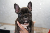 ID:FB565 French Bulldog