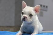 ID:FB567 French Bulldog