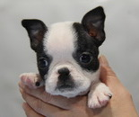 ID:BT129 Boston Terrier のイメージ
