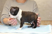 ID:BT130 Boston Terrier