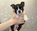ID:BT131 Boston Terrier のイメージ
