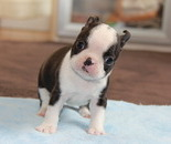 ID:BT133 BostonTerrier のイメージ