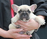 ID:FB575 French Bulldogのイメージ