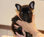 ID:FB571 French Bulldogのイメージ