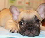 ID:FB572 French Bulldog のイメージ