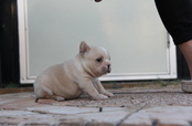 ID:FB582 French Bulldog
