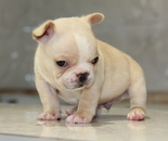 ID:FB583 French Bulldog のイメージ