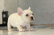 ID:FB584 French Bulldog