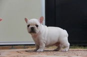ID:FB586 French Bulldog