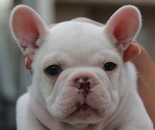 ID:FB587 French Bulldogのイメージ