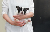 ID:FB590 French Bulldog 売約済み!