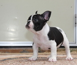 ID:FB589 French Bulldog のイメージ