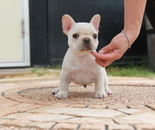 ID:FB591 French Bulldogのイメージ