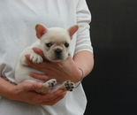 ID:FB592 French Bulldogのイメージ