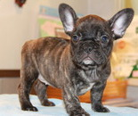ID:FB578 French Bulldog のイメージ