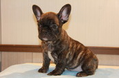 ID:FB578 French Bulldog