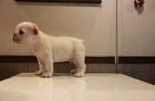 ID:FB579 French Bulldog
